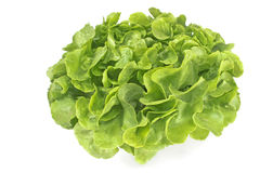 Fresh oak leaf lettuce Stock Photo