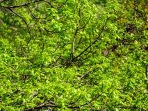 Fresh oak tree leaves Stock Image