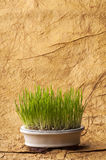 Fresh oat sprouts in bonsai pot. Royalty Free Stock Photos