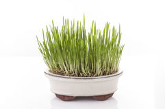 Fresh oat sprouts in bonsai pot. Stock Photos