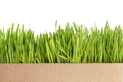 Fresh oat sprouts border in box Royalty Free Stock Photography