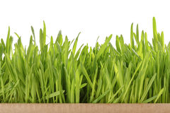 Fresh oat sprouts border in box, isolated Royalty Free Stock Image