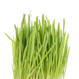 Fresh oat sprouts for cats or humans Stock Photo