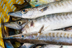 Fresh Obtuse barracuda fish Stock Images
