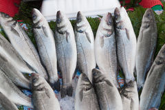 Fresh from the ocean sea bass  fish catch Royalty Free Stock Images