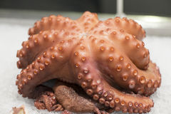Fresh octopus Stock Photo