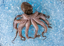 Fresh octopus on ice drift Royalty Free Stock Photos