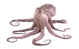 Fresh octopus isolated on white background. Live octopus isolated.  royalty free stock photos