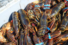 Fresh off the boat lobster Stock Photo