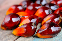 Fresh oil palm fruits Royalty Free Stock Photo