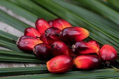 Fresh oil palm seeds. Oil palm, agriculture, farm, oil Stock Photography