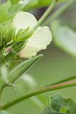Fresh okra Stock Images