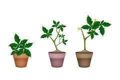 Fresh Okra Plant in Ceramic Flower Pots Royalty Free Stock Image