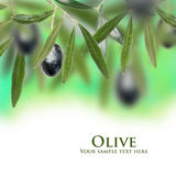 Fresh olive Stock Photos