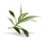 Fresh olive branch leaves