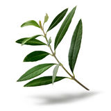 Fresh olive tree branch. Green leaves isolated on white background Royalty Free Stock Photography