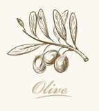 Fresh olive Stock Photography