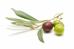 Fresh olives. Freshly harvested olives isolated on white background Royalty Free Stock Photo