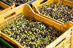 Fresh olives. Freshly harvested olives in a case Stock Photos