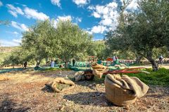 Fresh olives harvesting from agriculturists in a field of olive trees for extra virgin olive oil production. Royalty Free Stock Photos