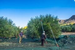 Fresh olives harvesting from agriculturists in a field of olive trees in Crete, Greece for extra virgin olive oil production. Stock Photo