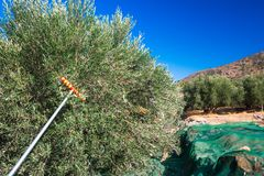 Fresh olives harvesting from agriculturists in a field of olive trees for extra virgin olive oil production. Stock Images