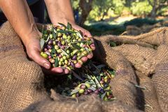 Fresh olives harvesting from agriculturists in a field of olive trees for extra virgin olive oil production. Woman keeps some of the harvested fresh olives in a stock image