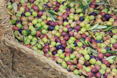 Fresh olives right from the tree Royalty Free Stock Photography
