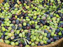 Fresh olives in a rustic basket. Royalty Free Stock Photography