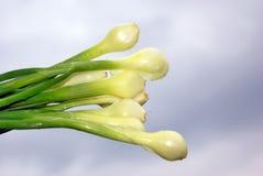 Fresh onion on cloudy sky background. Fresh onion above cloudy sky background Royalty Free Stock Image