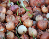 fresh onion for sale in  farmers market Royalty Free Stock Photography
