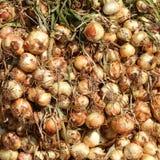 Fresh onions Royalty Free Stock Photos