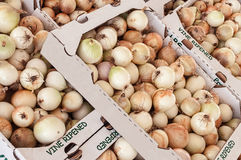 Fresh onions Royalty Free Stock Images