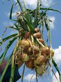 Fresh onions bunch Royalty Free Stock Photo