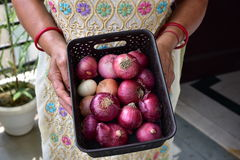 Fresh onions from garden in kitchen basket, Human  hands holding the basket. Fresh onions from garden in kitchen basket, Human hands holding the basket Stock Photo