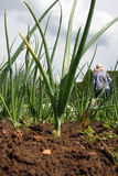 Fresh onions growing in vegetable garden Stock Image