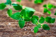 Fresh  oregano herb Royalty Free Stock Photo