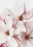 Fresh open magnolia flowers Stock Photos
