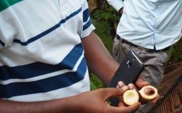 Fresh nutmeg , Zanzibar. Fresh open nutmeg fruit in hands. Selective focus on the nutmeg Stock Photo