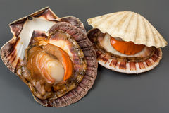 Fresh open shell scallops on gray Stock Image