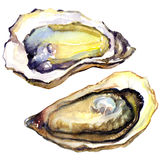 Fresh opened oyster on white background. Fresh opened oyster, watercolor painting on white background Stock Image