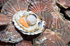 On fresh opened scallop Stock Photos