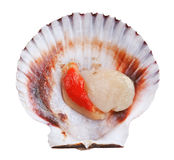 Fresh opened scallop. Shell isolated on white background Stock Images