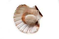 Fresh opened scallop. On white background Royalty Free Stock Photo