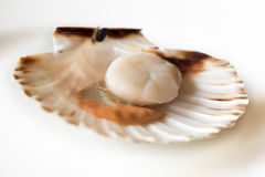 Fresh opened scallop. On white dish Royalty Free Stock Image
