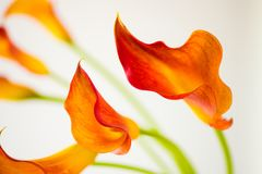 Fresh orange Calla lilly flowers. Selective focus. Fresh orange Calla lilly flowers with Selective focus royalty free stock photography