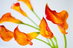 Fresh orange Calla lilly flowers. Selective focus. Fresh orange Calla lilly flowers with Selective focus royalty free stock photos