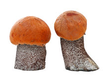 Fresh orange cap boletus Stock Photos