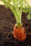 Fresh orange carrot growing in the soil Stock Images