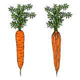 Fresh Orange Carrots with Leaves. Half of Carrot. Sliced Carrot. Ripe Vegetables. Carrots with Tops. Vegetarian Cuisine. Salad Ing. Redient. Realistic Hand Drawn Royalty Free Stock Photography